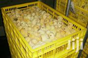 Males Day Old Chicks | Livestock & Poultry for sale in Central Region, Kampala