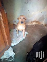 Adult Female Mixed Breed Mongrel   Dogs & Puppies for sale in Central Region, Kampala