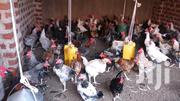 Hens For Sale   Birds for sale in Central Region, Wakiso
