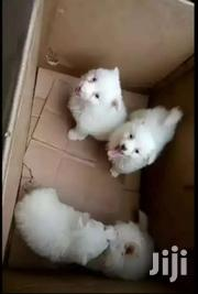 White Japanese Spitz | Dogs & Puppies for sale in Central Region, Kampala