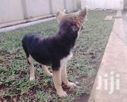 Senior Female Purebred German Shepherd Dog   Dogs & Puppies for sale in Central Region, Kampala