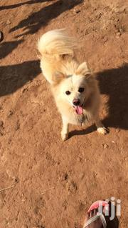 Young Male Purebred Samoyed | Dogs & Puppies for sale in Central Region, Mukono
