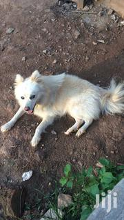 Adult Male Purebred Samoyed | Dogs & Puppies for sale in Central Region, Mukono