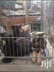 Germany Shepherds | Dogs & Puppies for sale in Central Region, Kampala