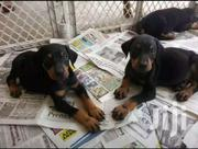 Doberman Pincher Puppies | Dogs & Puppies for sale in Central Region, Kampala