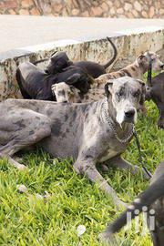 Pure/Pedigree GREAT DANES AVAILABLE NOW | Dogs & Puppies for sale in Central Region, Kampala