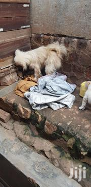 Young Male Purebred Finnish Spitz | Dogs & Puppies for sale in Central Region, Kampala