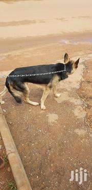 Young Male Purebred German Shepherd Dog | Dogs & Puppies for sale in Central Region, Kampala