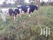 20 COWS | Other Animals for sale in Central Region, Kampala
