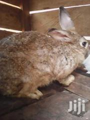 Good Quality Chinchilas $Newsland White Rabbits | Other Animals for sale in Central Region, Kampala