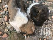 Baby Male Mixed Breed German Shepherd Dog   Dogs & Puppies for sale in Central Region, Kampala