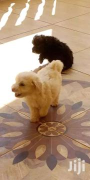 Maltese Pups | Dogs & Puppies for sale in Central Region, Kampala