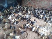 One Month Kroilers N Broilers | Birds for sale in Central Region, Wakiso