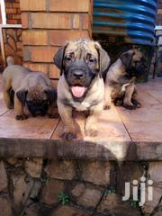 Young Male Purebred Boerboel | Dogs & Puppies for sale in Central Region, Mukono