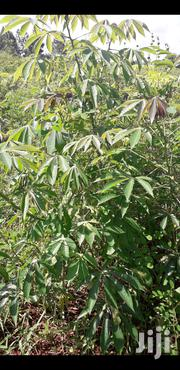 Nase 3 Cassava Cuttings | Feeds, Supplements & Seeds for sale in Eastern Region, Jinja