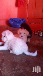 Maltese Cute And Lovely Puppies | Dogs & Puppies for sale in Western Region, Kisoro