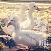 Geese Pair For Rich People | Livestock & Poultry for sale in Central Region, Kampala