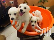 White Active Japanese Spits Puppies | Dogs & Puppies for sale in Central Region, Kampala