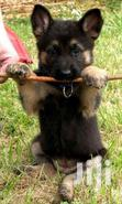 Healthy And Active German Sherperd Puppies | Dogs & Puppies for sale in Kampala, Central Region, Uganda