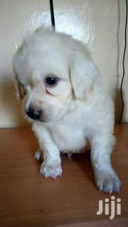 Young Male Purebred Labrador Retriever | Dogs & Puppies for sale in Central Region, Kampala