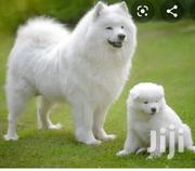 Young Female Purebred American Eskimo Dog   Dogs & Puppies for sale in Central Region, Kampala