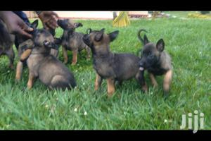Young Male Purebred Belgian Malinois