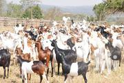 Goats. Special Offer | Livestock & Poultry for sale in Central Region, Kampala