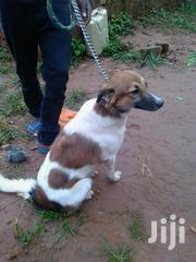Senior Female Mixed Breed Mongrel (No Breed) | Dogs & Puppies for sale in Central Region, Kampala