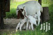 Breed Goats For Sale | Other Animals for sale in Central Region, Kampala