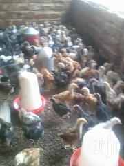 Fully Vaccinated Month Old Kuroiler Chicks | Livestock & Poultry for sale in Central Region, Wakiso