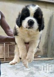 Young Male Purebred Saint Bernard | Dogs & Puppies for sale in Central Region, Kampala