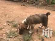 Baby Male Mixed Breed American English Coonhound | Dogs & Puppies for sale in Central Region, Kampala