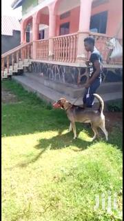 Senior Male Mixed Breed Boxer | Dogs & Puppies for sale in Central Region, Wakiso