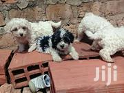 MALTESE DOGS AVAILABLE (PUPPIES) | Dogs & Puppies for sale in Central Region, Kampala