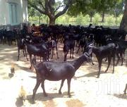 Pure Black Goats | Livestock & Poultry for sale in Central Region, Kampala
