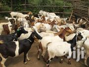 Pregnant Goats | Livestock & Poultry for sale in Central Region, Kampala