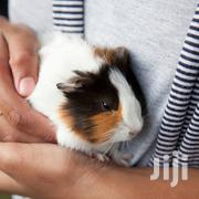 Pet Guinea Pigs | Other Animals for sale in Central Region, Kampala