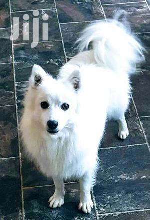 Adult Male Purebred Japanese Spitz