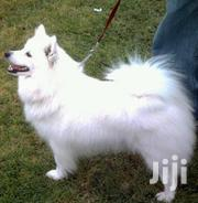 Senior Female Purebred Japanese Spitz | Dogs & Puppies for sale in Central Region, Kampala