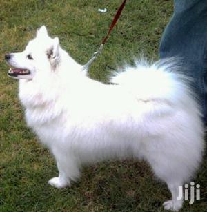 Senior Female Purebred Japanese Spitz