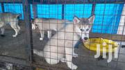 Young Female Purebred Siberian Husky | Dogs & Puppies for sale in Central Region, Kampala