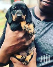 Young Female Purebred Dachshund | Dogs & Puppies for sale in Central Region, Kampala