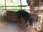 Female Cow For Sale | Other Animals for sale in Central Region, Kampala