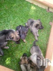Young Female Purebred German Shepherd Dog | Dogs & Puppies for sale in Central Region, Wakiso