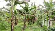 5 Acres of Titled Fertile Land for Sale in Bwabya, Fort Portal.   Land & Plots For Sale for sale in Western Region, Kabalore