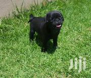 Young Male Purebred Pug | Dogs & Puppies for sale in Central Region, Kampala
