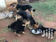 German Shepherds | Dogs & Puppies for sale in Central Region, Kampala
