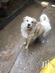 Adult Male Purebred Japanese Spitz   Dogs & Puppies for sale in Central Region, Kampala