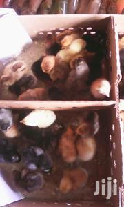 Day 1 Birds Kroilers Broiler And Layers Plus One Month | Birds for sale in Central Region, Kampala