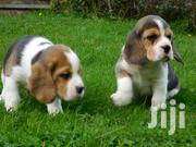 Young Male Purebred Beagle | Dogs & Puppies for sale in Central Region, Kampala